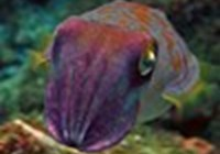 cuttlefishii