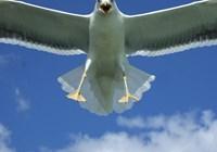 Chief.Seagull