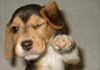 beagle_lover