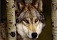 WolfieGirl