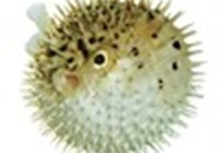 pufferfishking