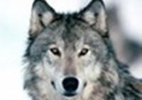 Wolfgirl66overload
