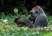 Enigmatic_Gorilla