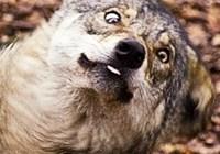 wolf245