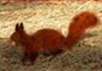 FireSquirrel