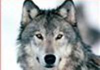 WolfLikeMe