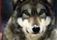 wolflilli123