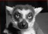 lemurgal
