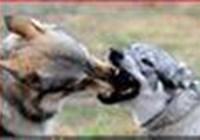Mourningwolf